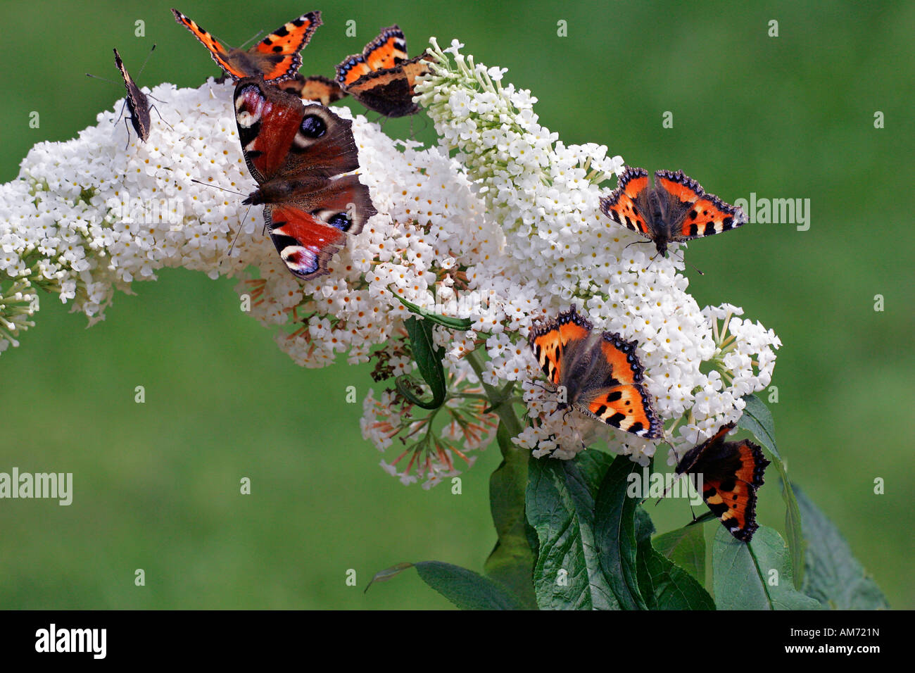 Butterflies - small tortoiseshells and a peacock moth sitting on a flowering white butterfly bush (Aglais urticae) - Stock Image