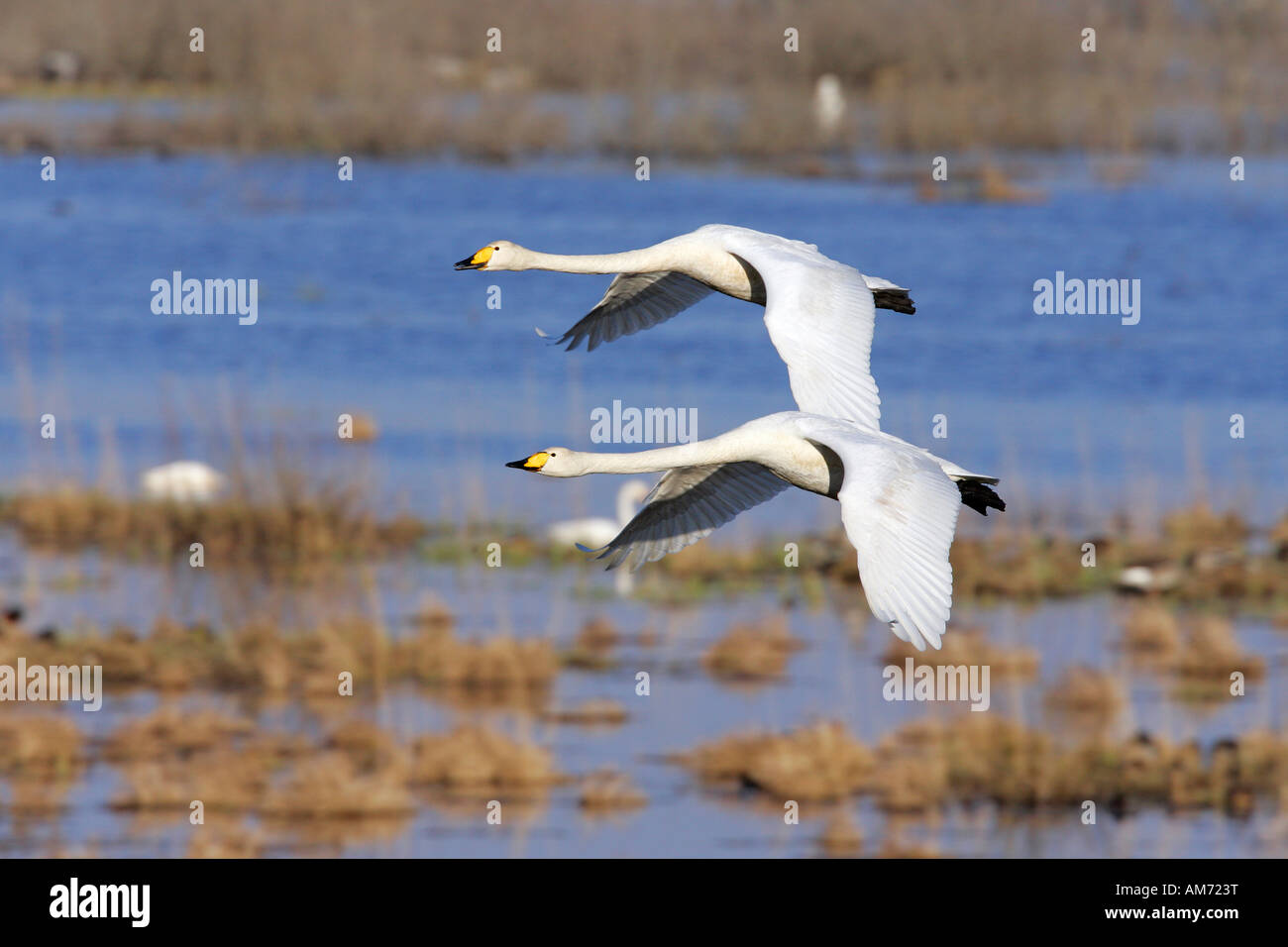 Couple of flying whooper swans - whooper swan (Cygnus cygnus) Stock Photo