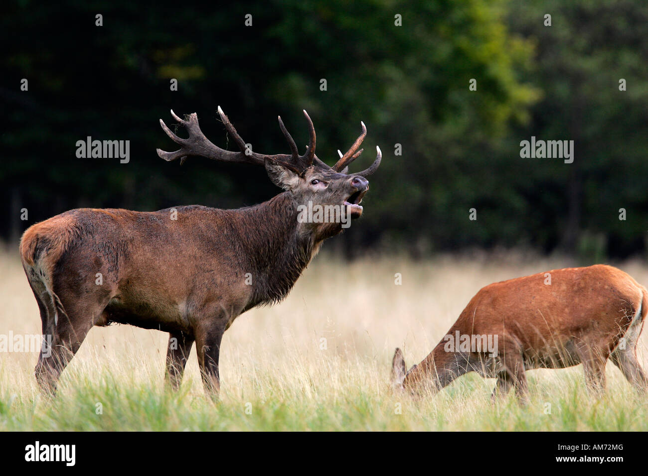 Belling red stag during the rut with grazing hind - red deer in heat - male and female (Cervus elaphus) Stock Photo