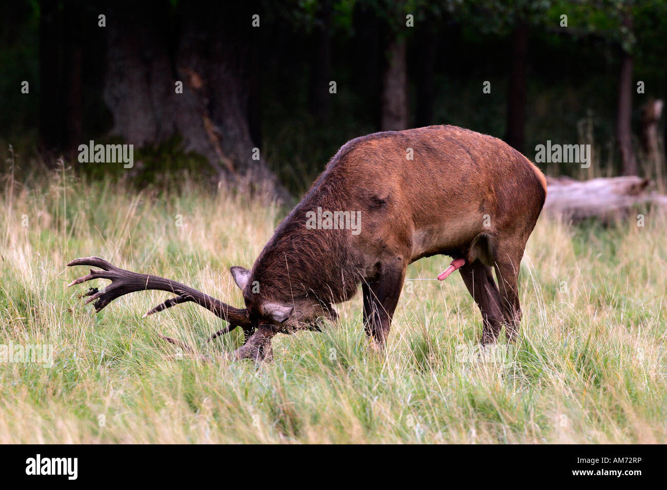 Red stag during the rut - red deer in heat - male - behaviour (Cervus elaphus) Stock Photo