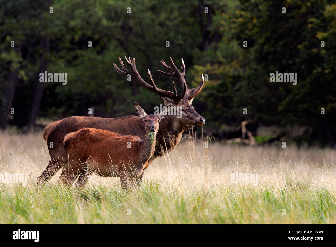 Red stag and hind during the rut - red deers in heat - behaviour - male and female (Cervus elaphus) Stock Photo