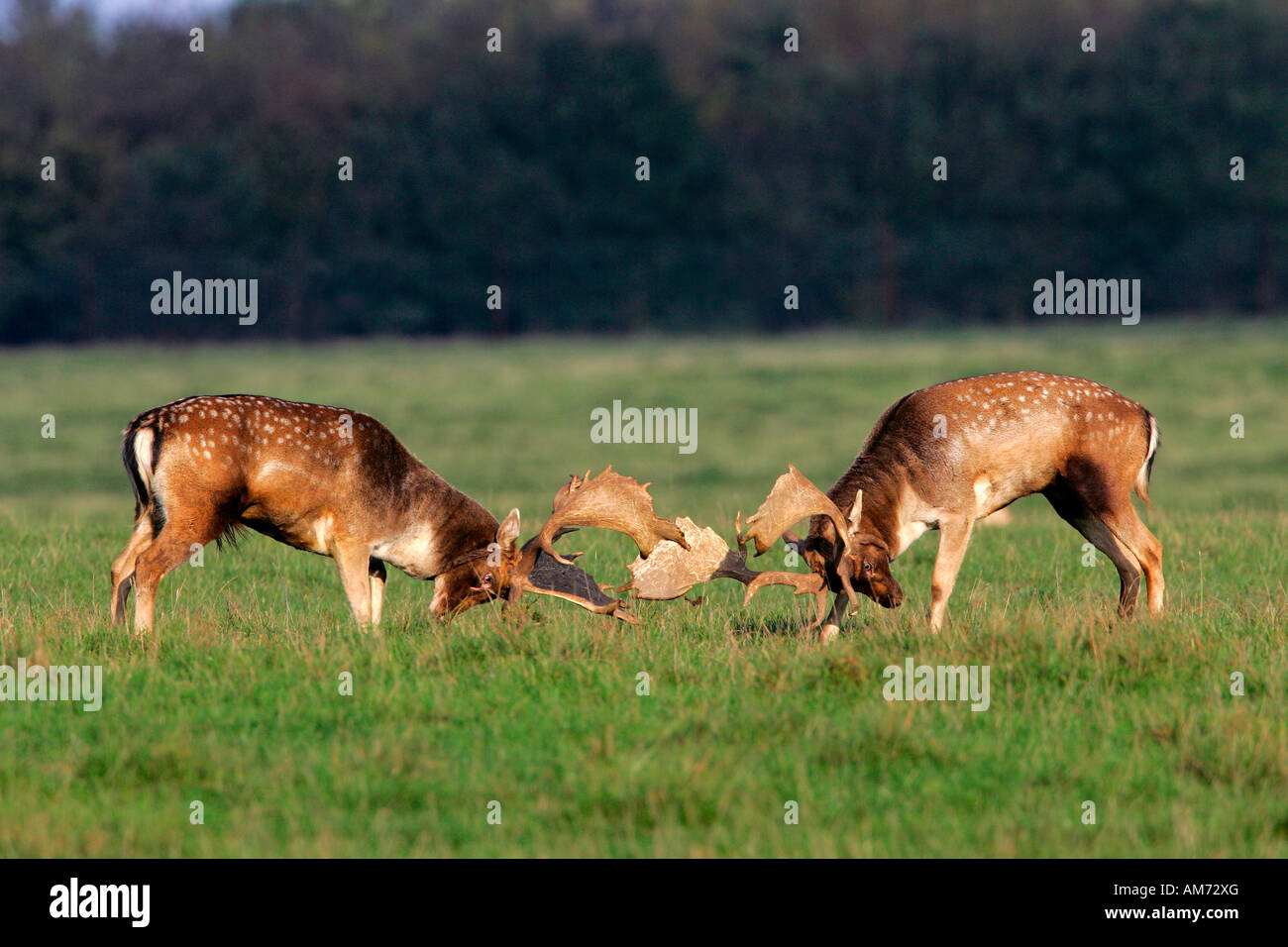 Fighting fallow deers during the rut - males (Cervus dama) (Dama dama) Stock Photo