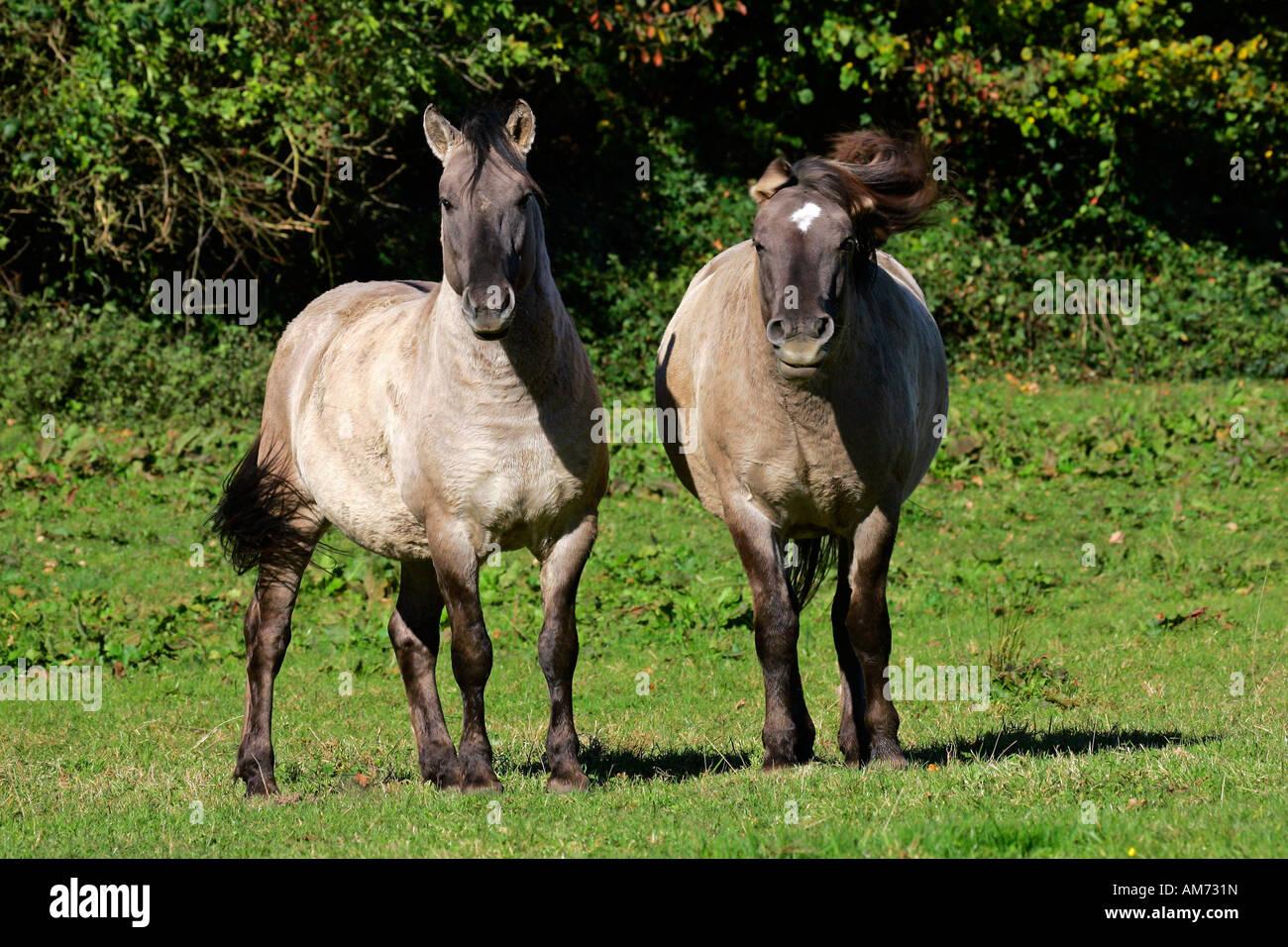 Konik horses (Equus przewalskii f. caballus) Stock Photo