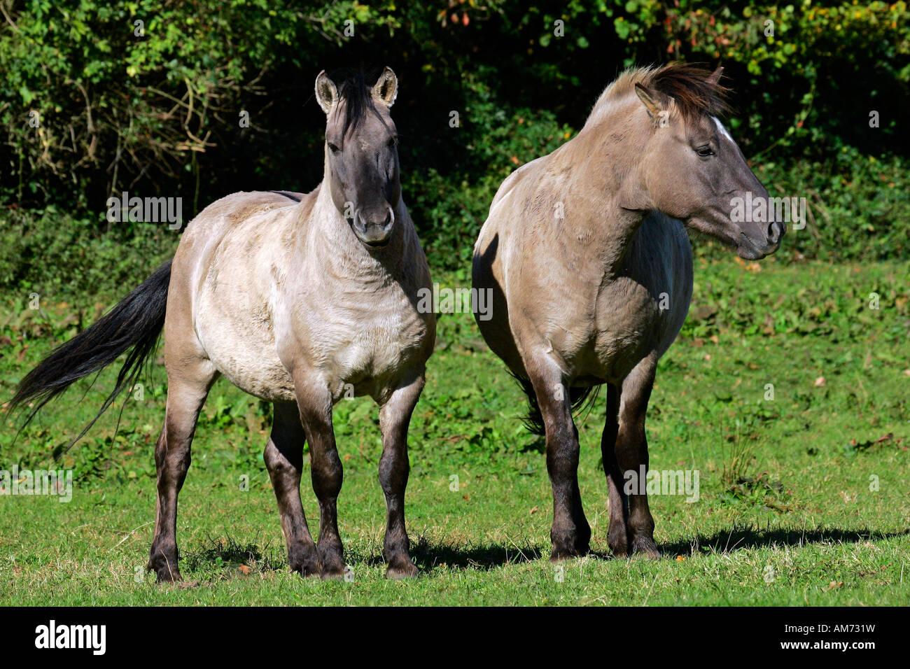 Konik horses - koniks (Equus przewalskii f. caballus) Stock Photo