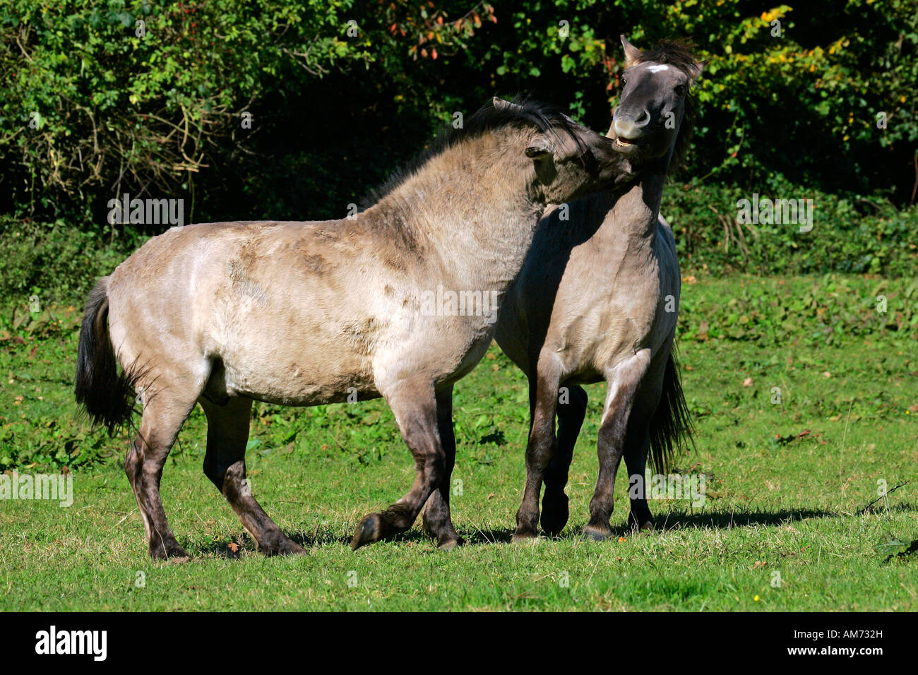 Konik horses - koniks - social behaviour (Equus przewalskii f. caballus) Stock Photo