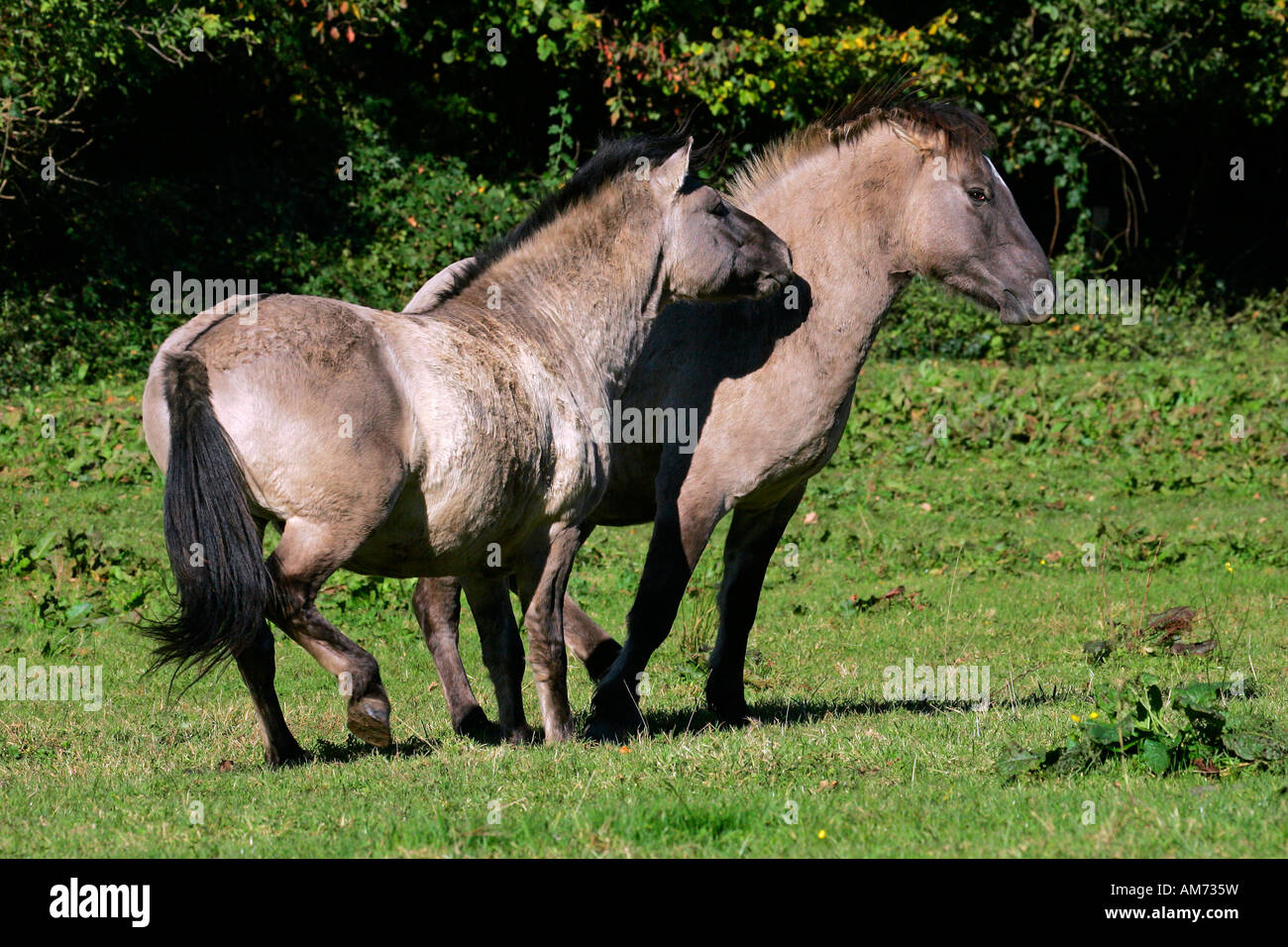 Konik horses - couple - social behaviour (Equus przewalskii f. caballus) Stock Photo