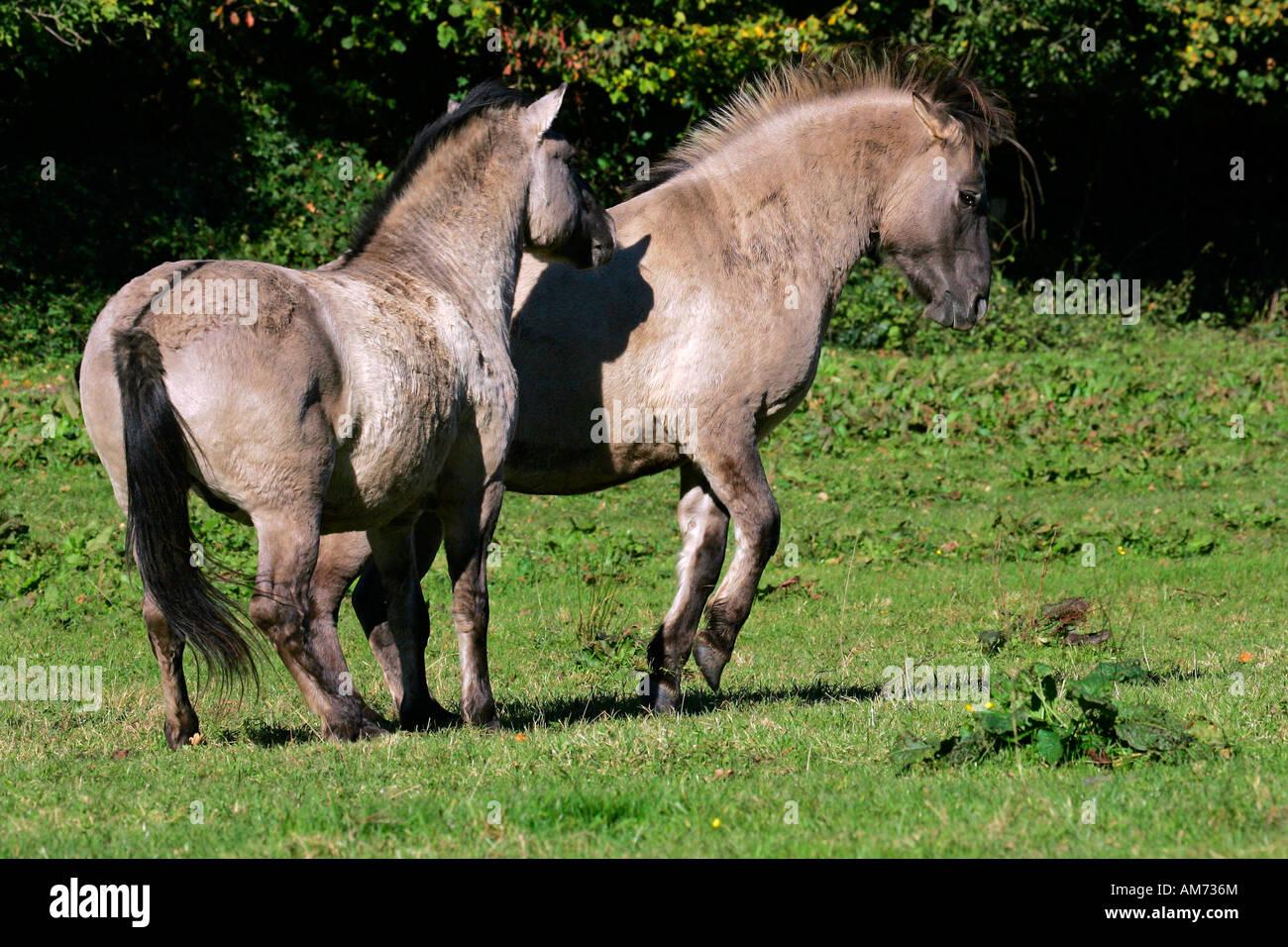 Konik horses - couple - social behaviour (Equus przewalskii f. caballus) Stock Photo
