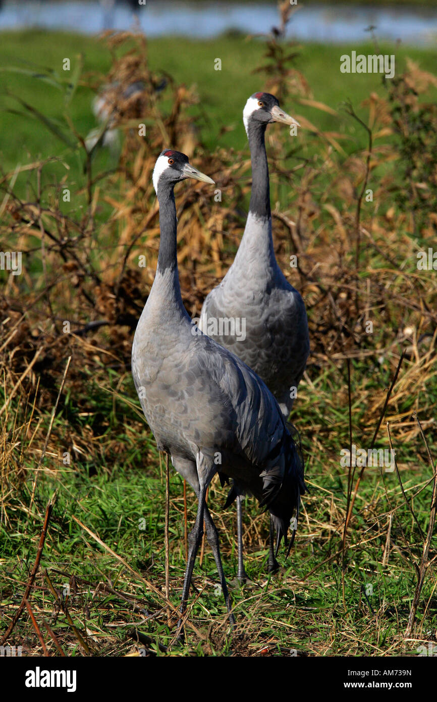 Pair of common cranes (Grus grus) - Vorpommersche Boddenlandschaft, Mecklenburg-Western Pomerania, Germany, Europe, Stock Photo