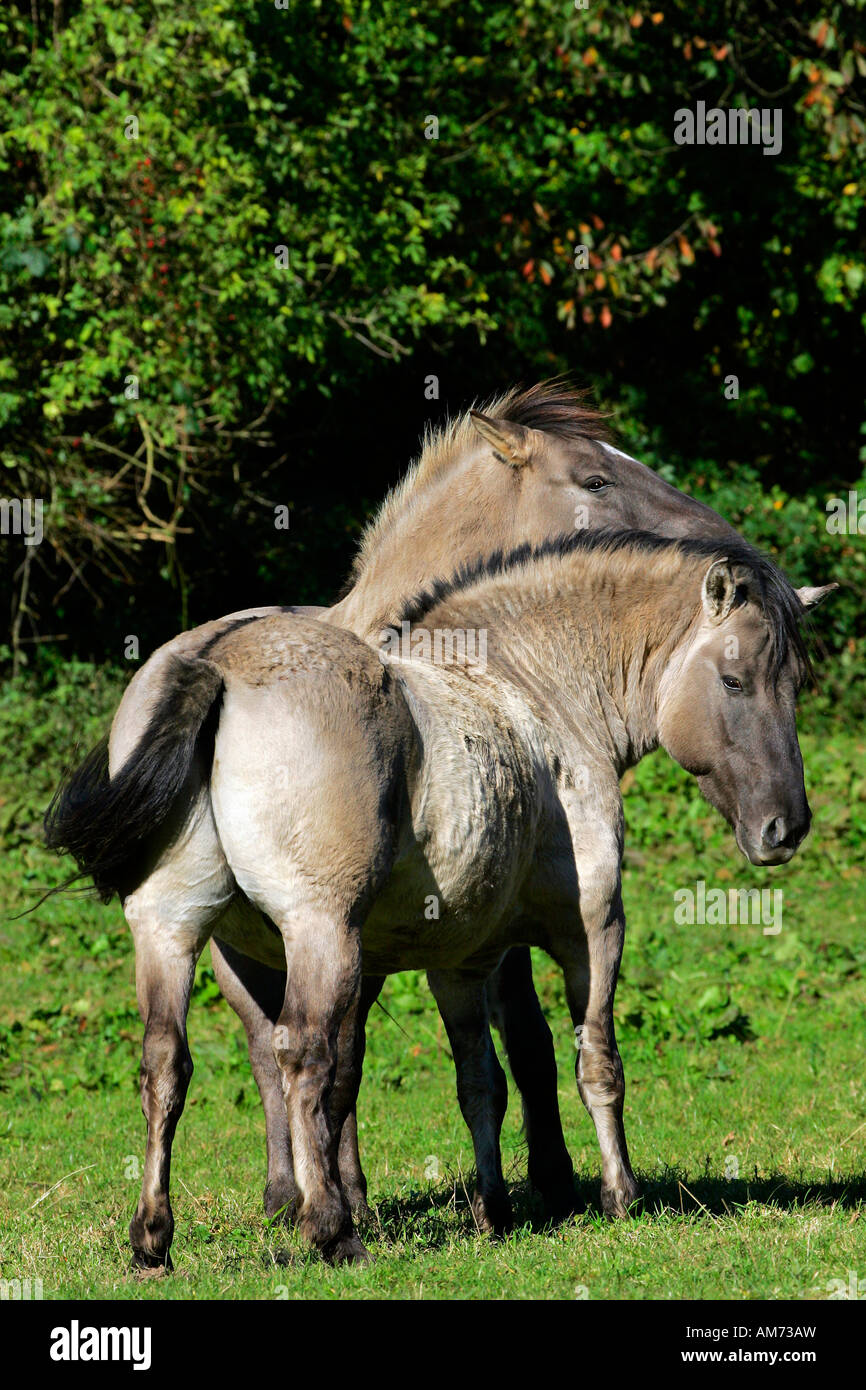 Konik horses - koniks - social behaviour (Equus przewalskii f. caballus) Stock Photo