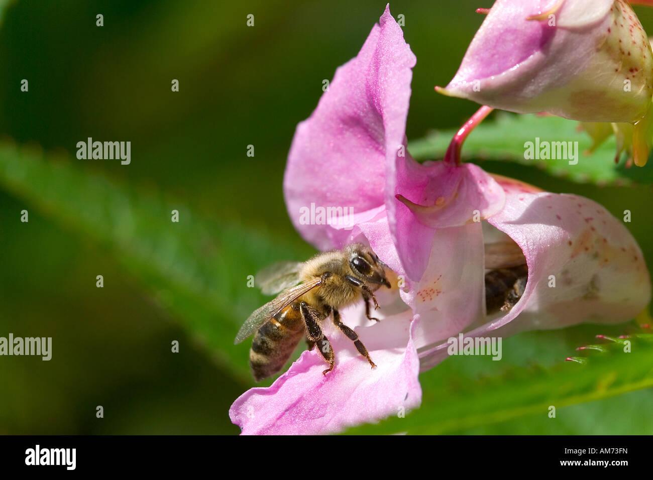 Bee at a blossom, Himalayan Balsam Stock Photo