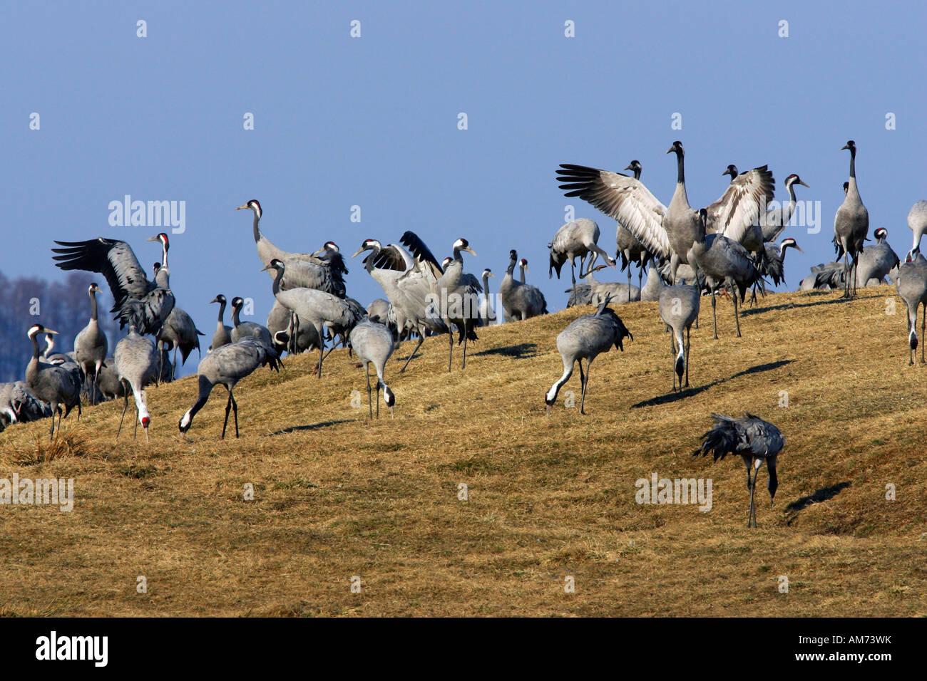 Resting common cranes (Grus grus) at the lake Hornborga in Sweden - Europe Stock Photo