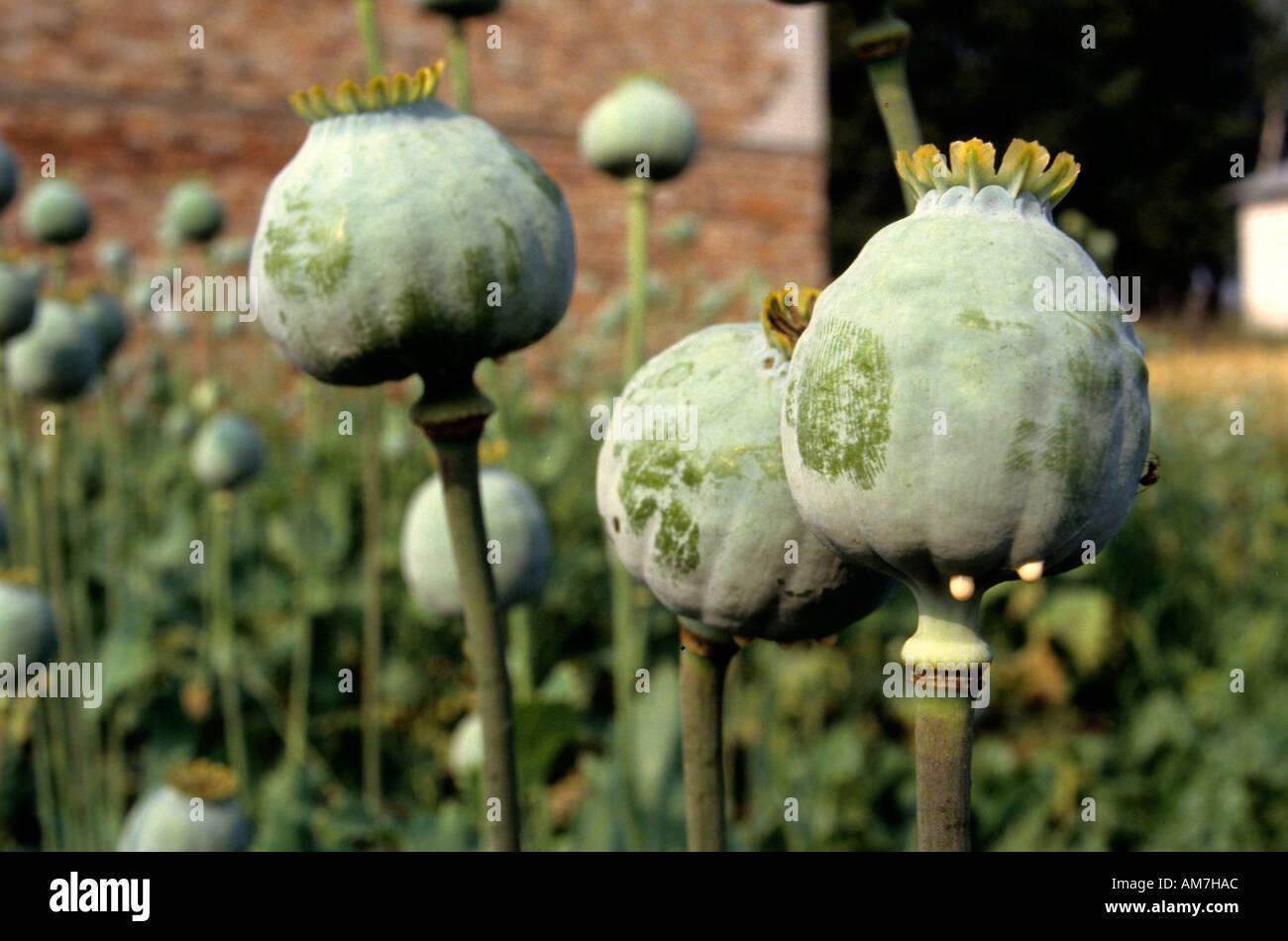 Opium Poppyhead Poppy Seed Drug Drugs Opium Stock Photo 4953515 Alamy