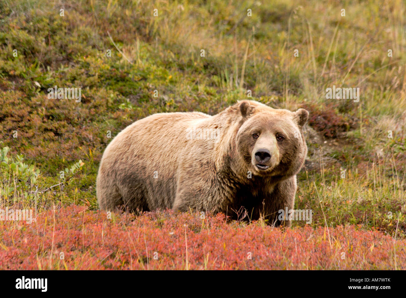 Grizzly bear, Ursus arctos horribilis, male, Alaska, USA - Stock Image