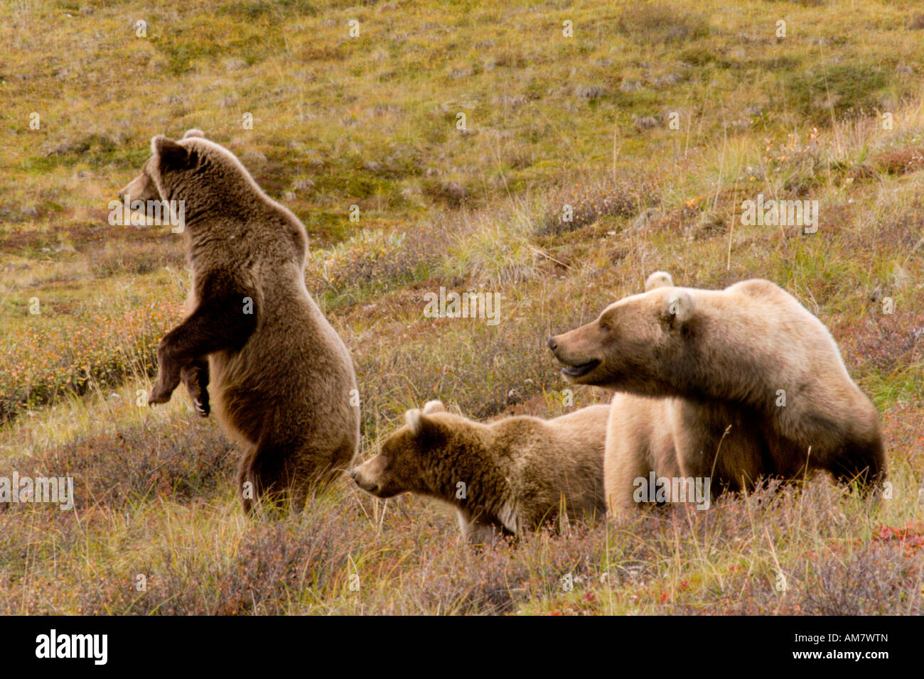 Grizzly bear, Ursus arctos horribilis, female and adolescent bears, Alaska, USA - Stock Image