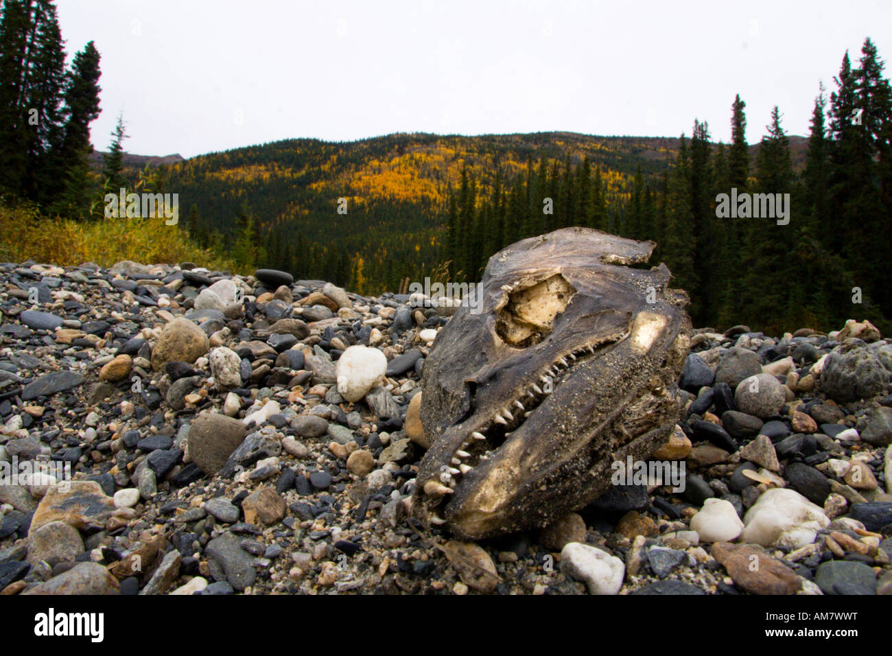 Fish head, salmon, Alaska, USA - Stock Image