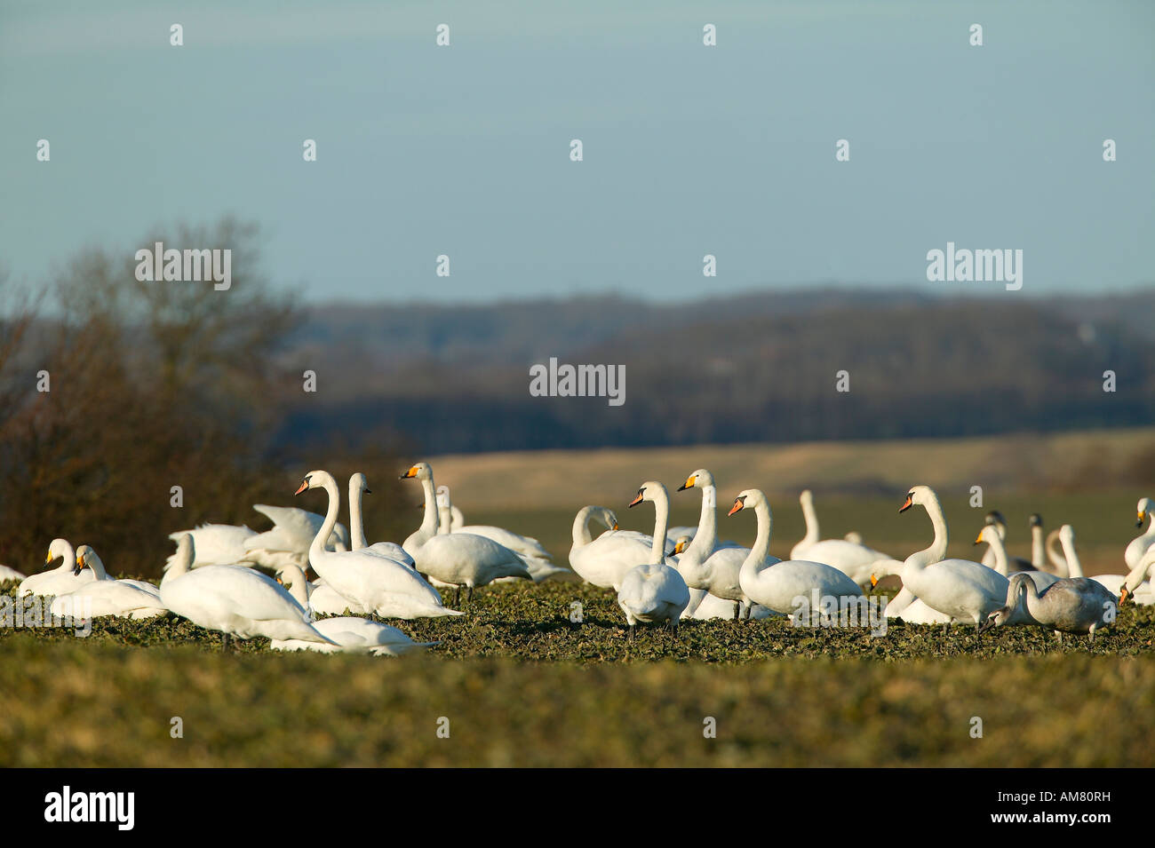 Young whooper swans (Cygnus cygnus) and mute swans (Cygnus olor) Stock Photo