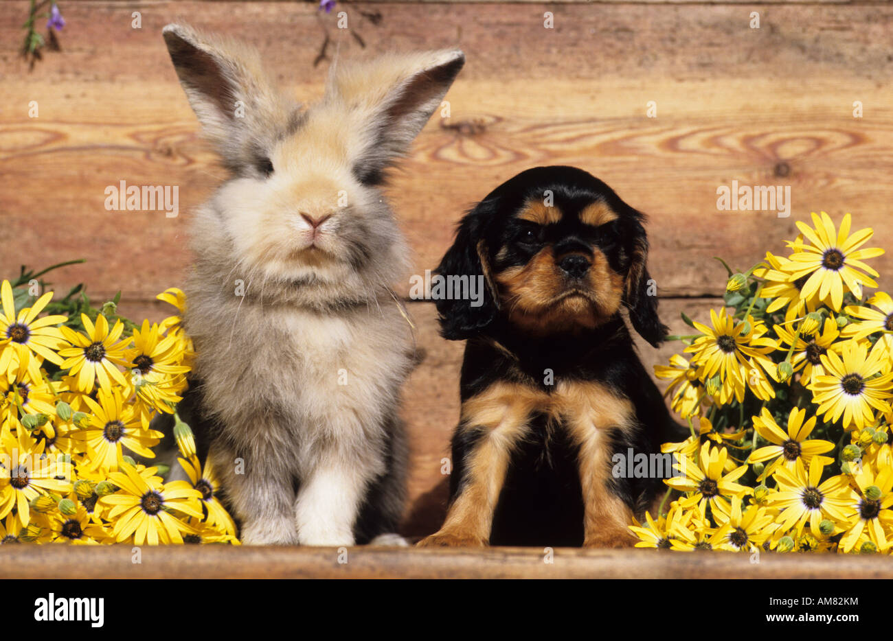Cavalier King Charles Spaniel, puppy sitting next to Domestic Rabbit - Stock Image