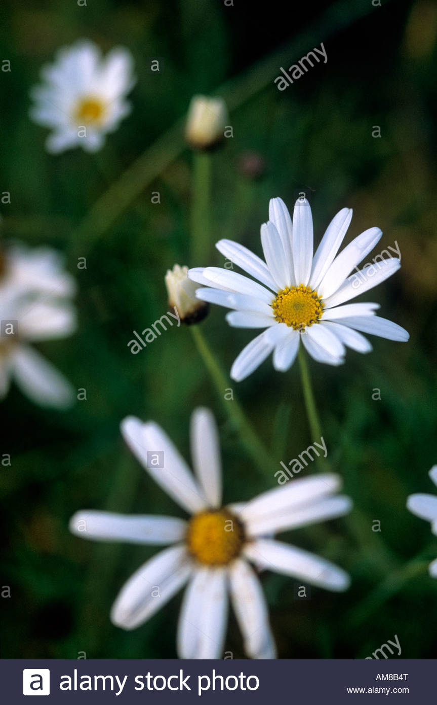 Daisy like flowers stock photos daisy like flowers stock images argyranthemum frutescens marguerite paris daisy large single white yellow centered daisy like flowers growing in izmirmasajfo Image collections