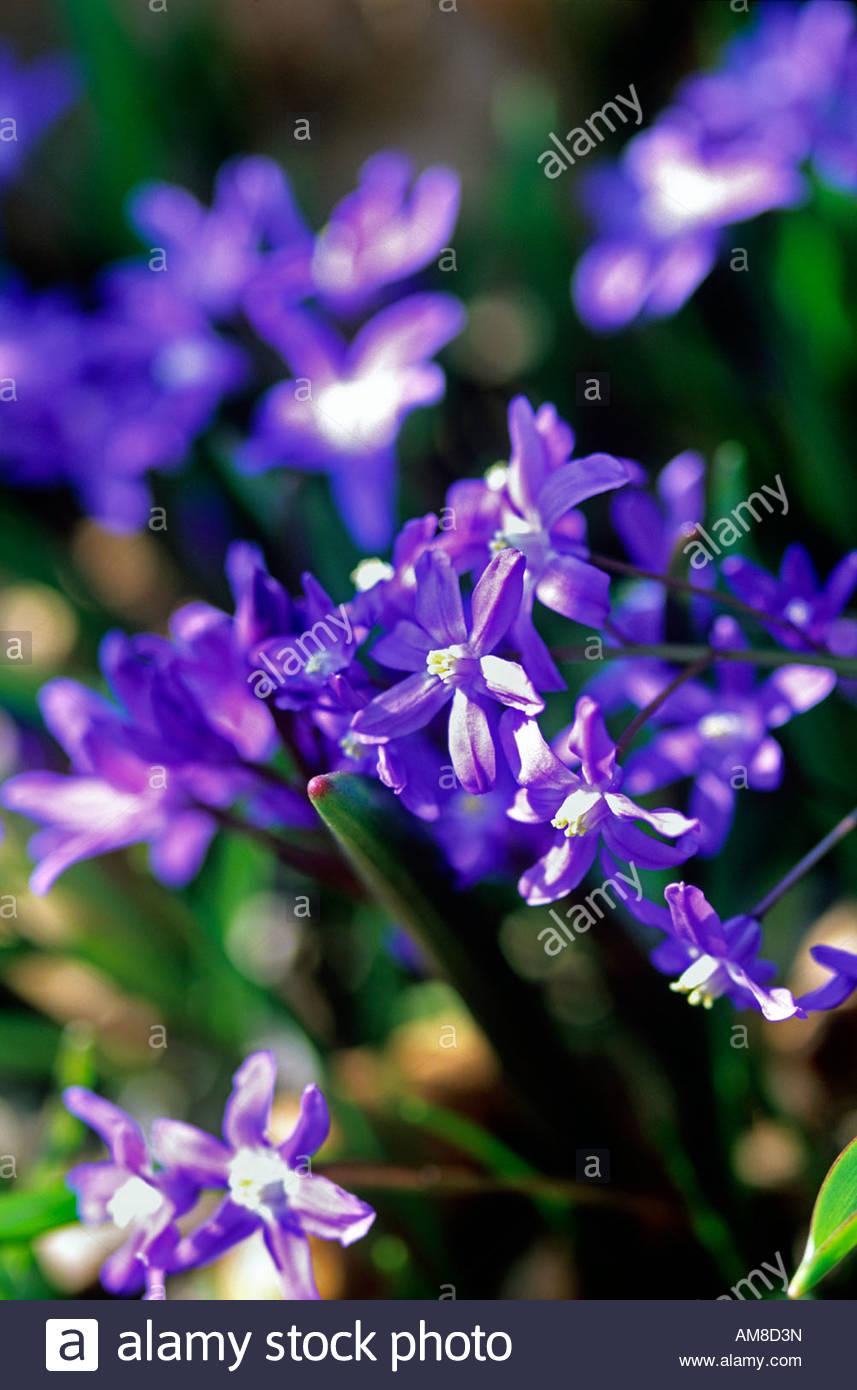 Scilla bifolia alpine squill small blue to purple flowering bulb in scilla bifolia alpine squill small blue to purple flowering bulb in spring mightylinksfo