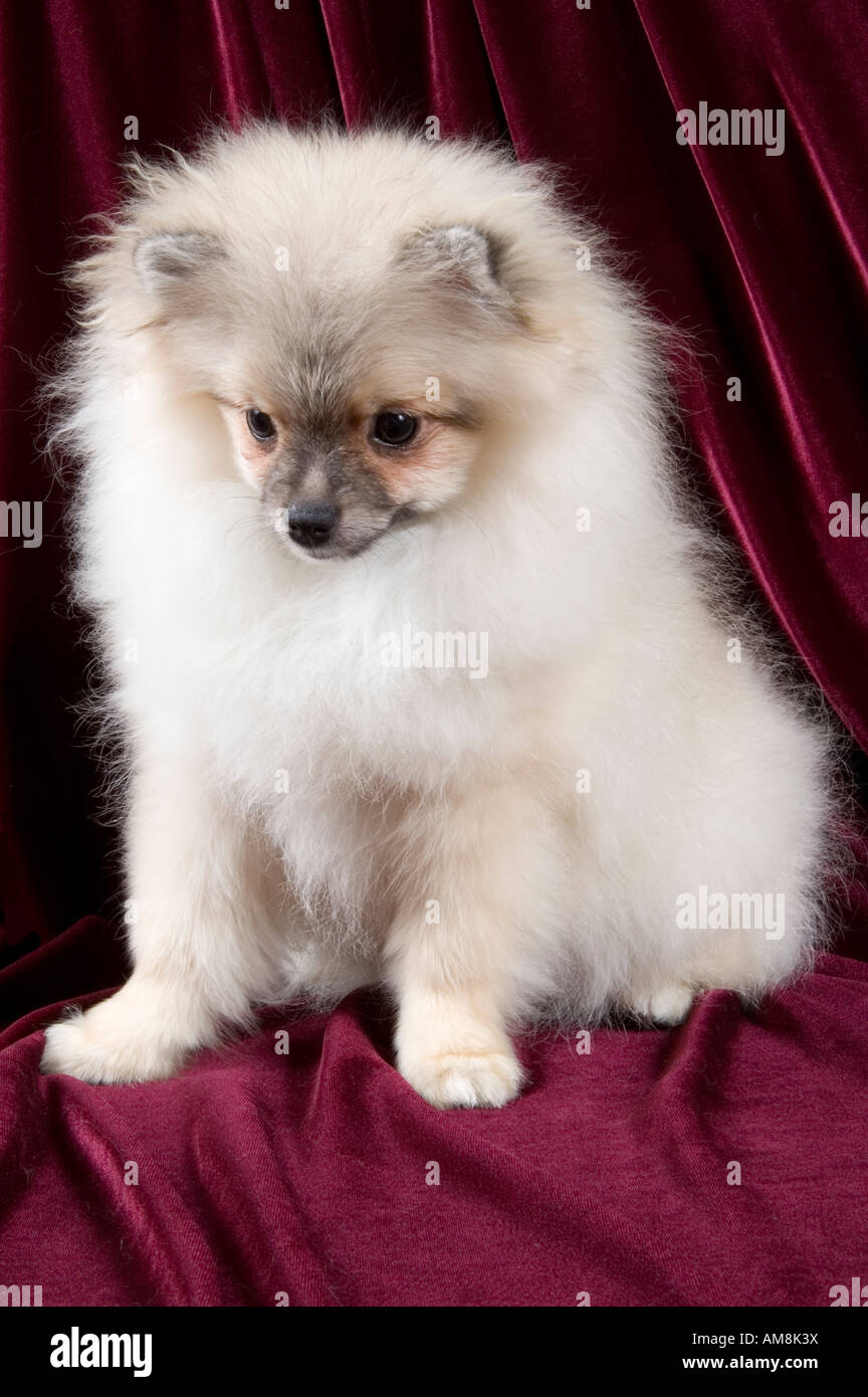 Animals Puppy Pomeranian Spitz Dog Pets Canine Small Stock