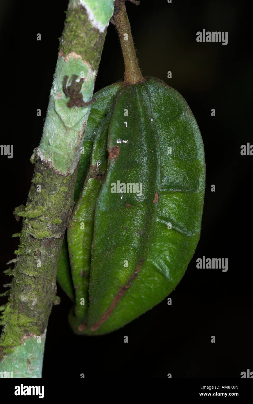 Cocoa pod Theribroma cacoa cauliflorous unripe fruit on tree Iquitos Peru Stock Photo