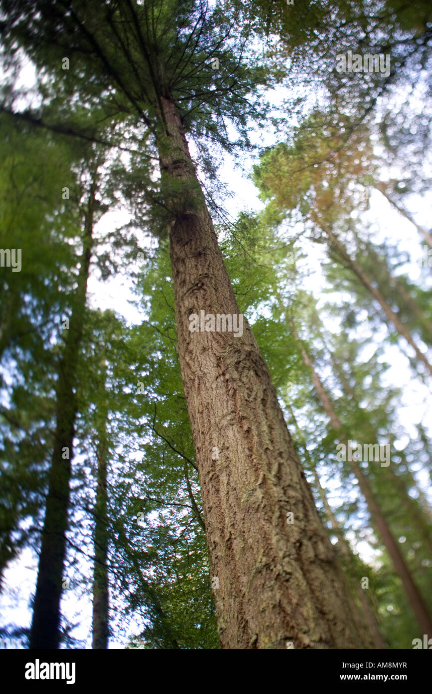 Douglas Fir, The Hermitage, Dunkeld, Perthshire, Scotland Stock Photo