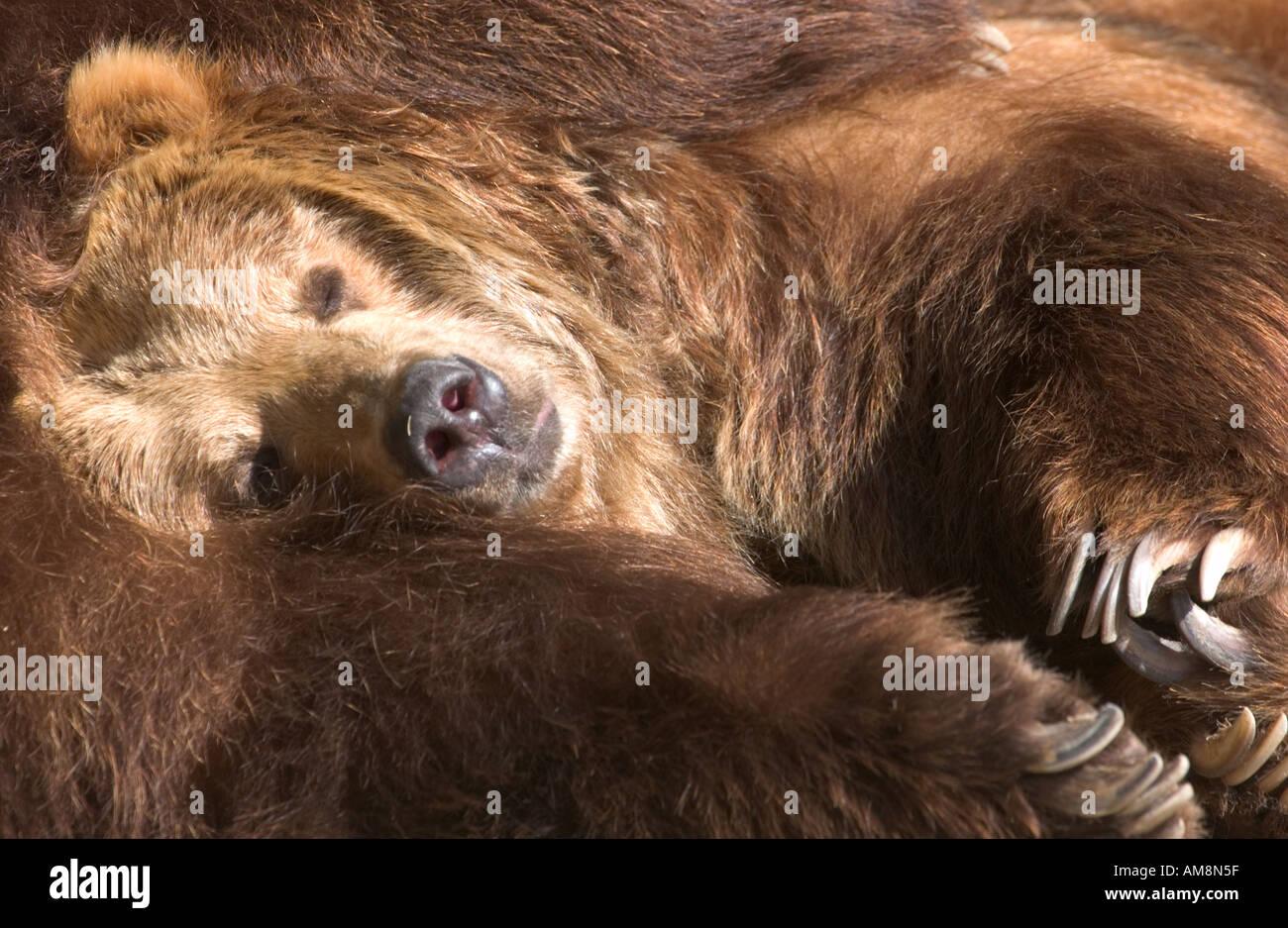 sleeping brown bears,Ursus Arctos - Stock Image