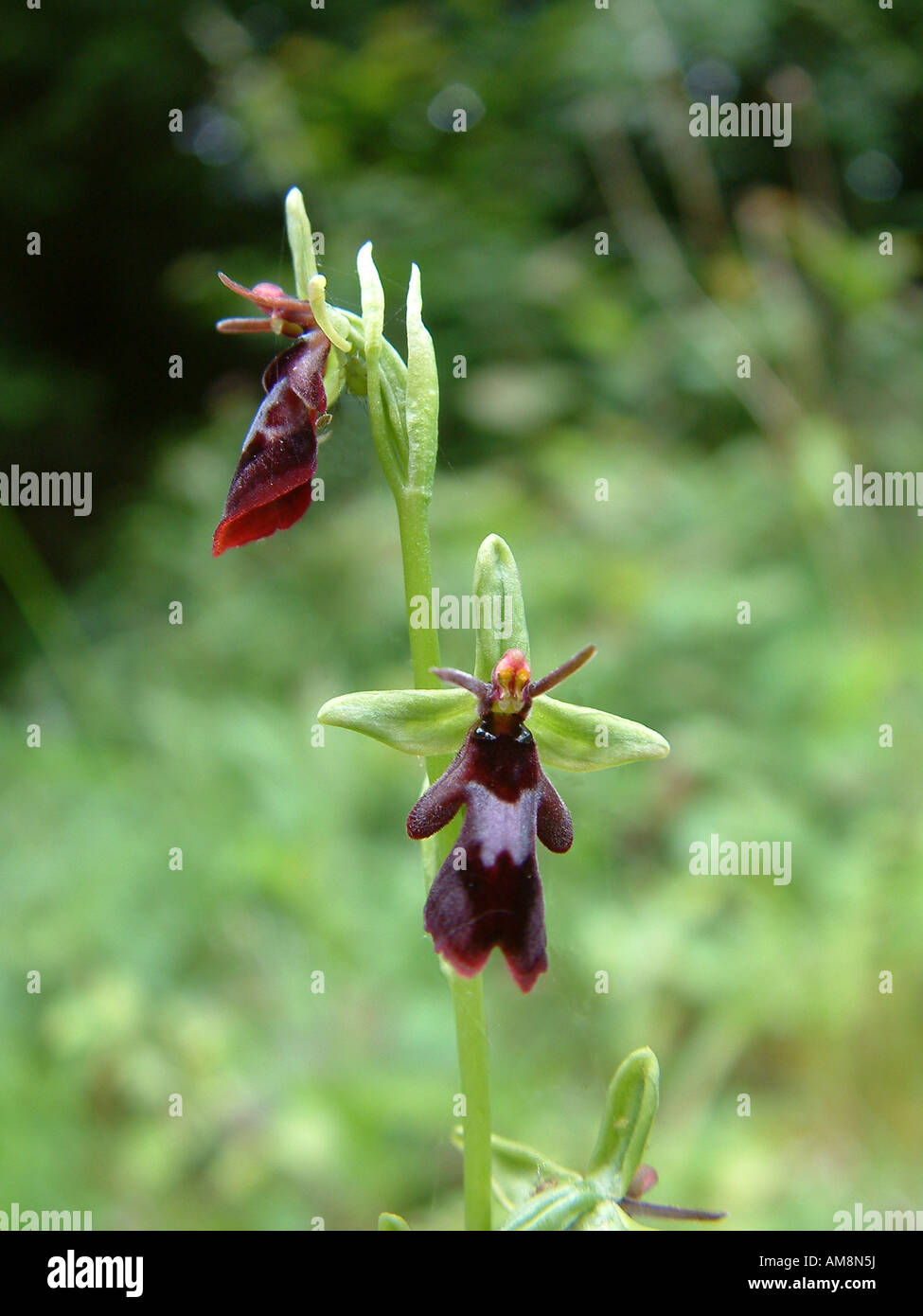 BHZ Close-up of a Fly Orchid (Ophrys insectifera) - Stock Image
