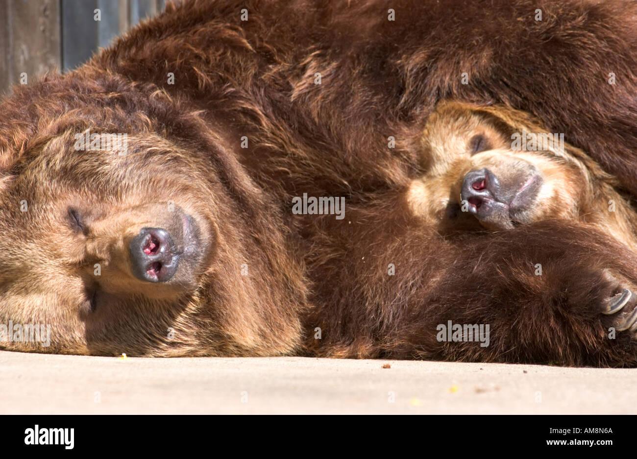 sleeping brown bears - Stock Image
