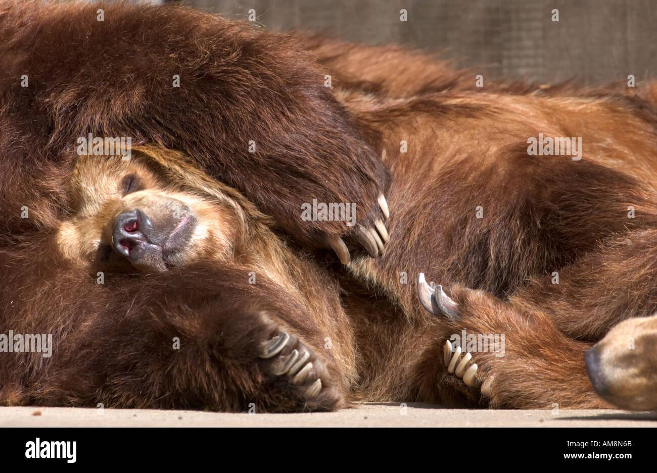 sleeping brown bears, Ursus Arctos - Stock Image