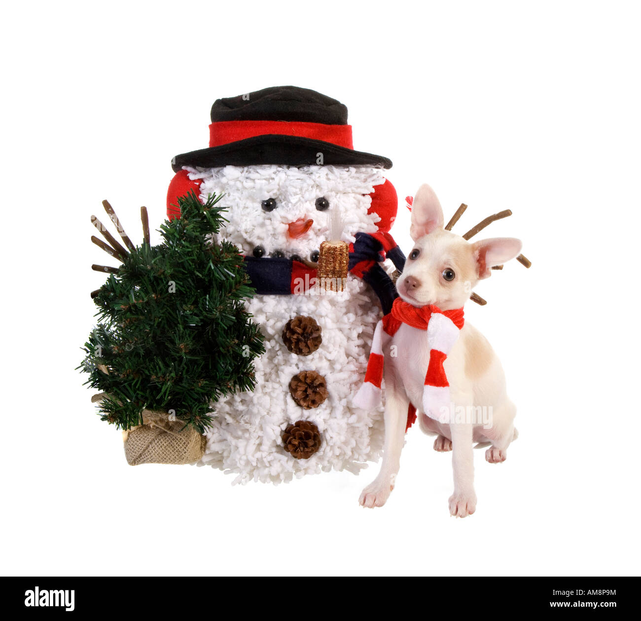 799c6fd884e Christmas Chihuahua Puppy with snowman wearing red and white scarf isolated  on white background - Stock