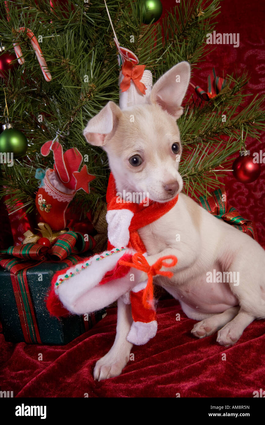 88bf4b70c0d4f Cute Christmas Chihuahua Puppy under Christmas tree wearing red and white  scarf on red velvet background
