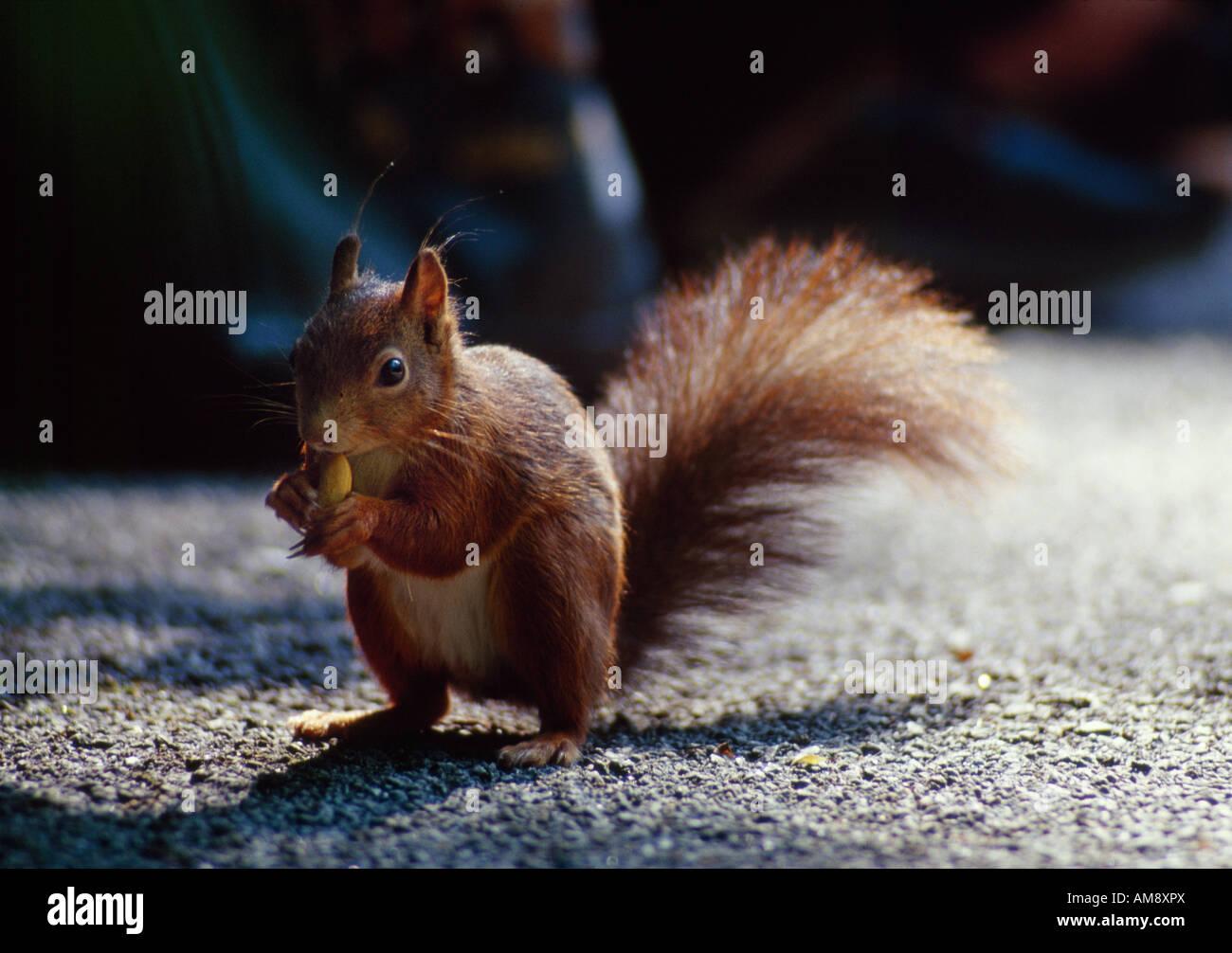 Squirrel eating a nut Eichhörnchen isst eine Nuss - Stock Image