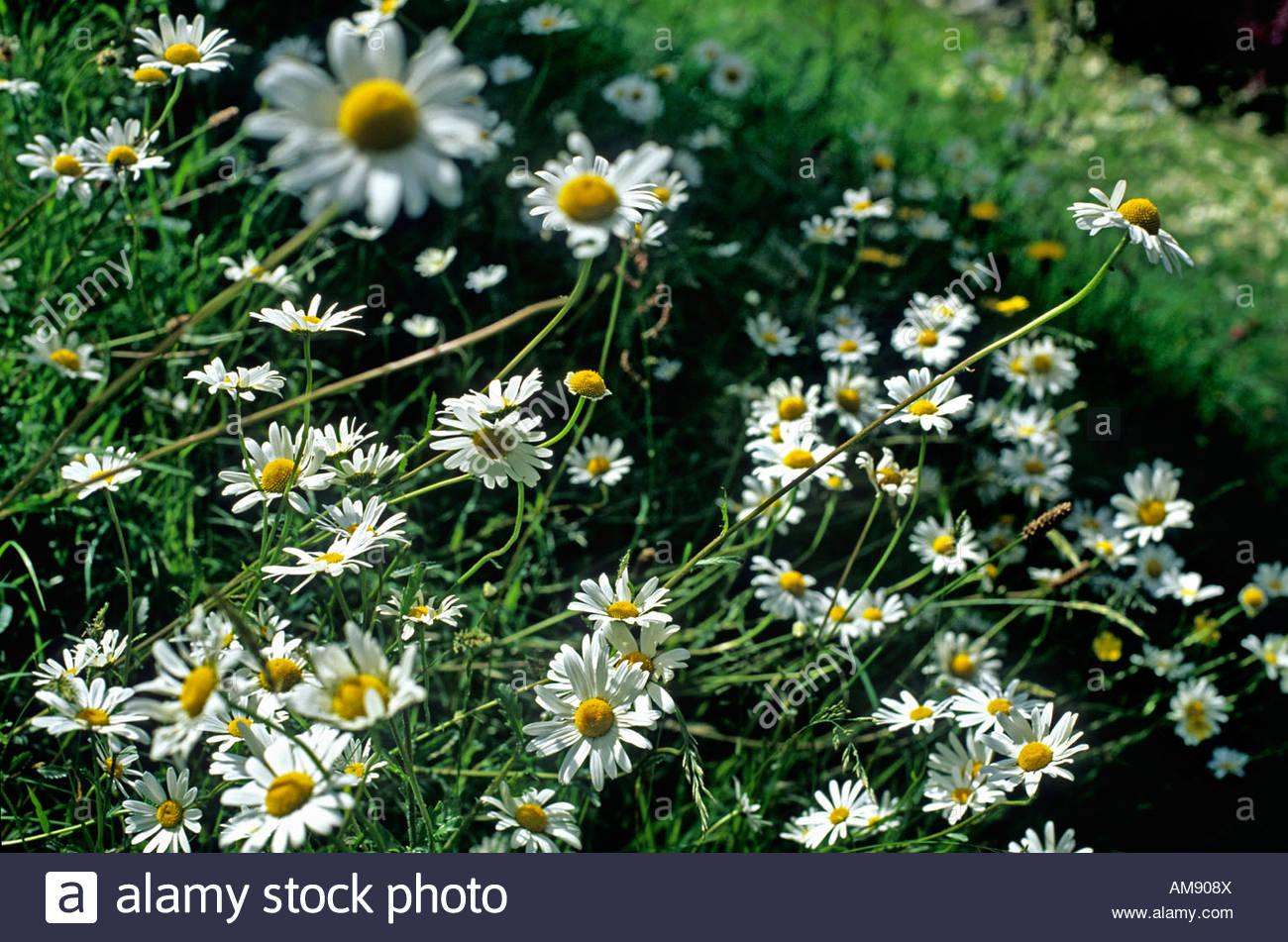 Daisy Like Flowers Stock Photos Daisy Like Flowers Stock Images
