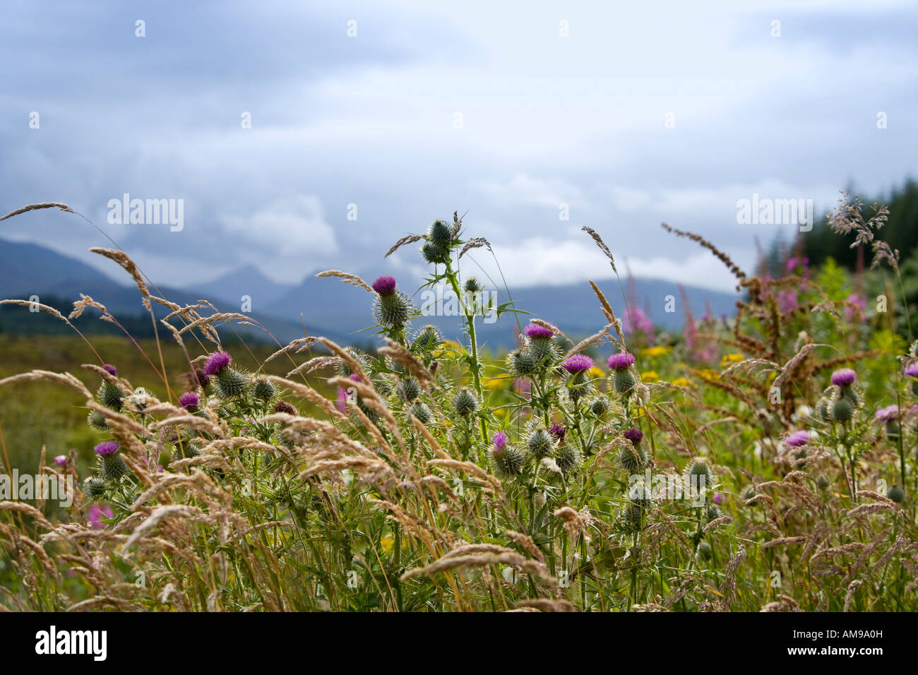 Spear Thistles and Wild Grasses, Highlands, Scotland - Stock Image
