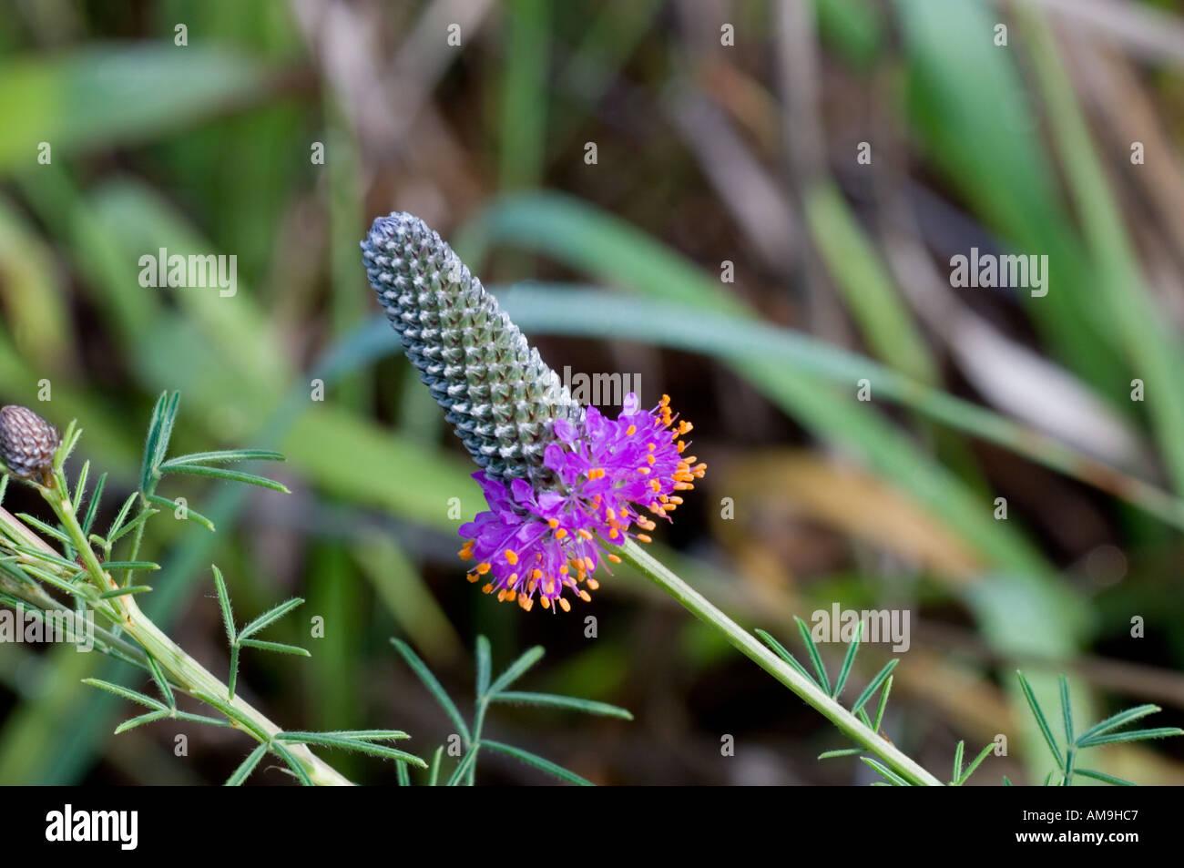 Purple prairie clover Dalea purpurea Stock Photo