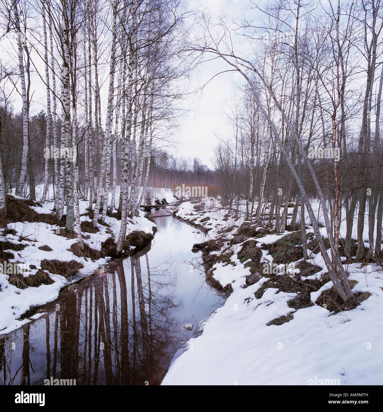 A snowy birch tree forest with a stream. - Stock Image