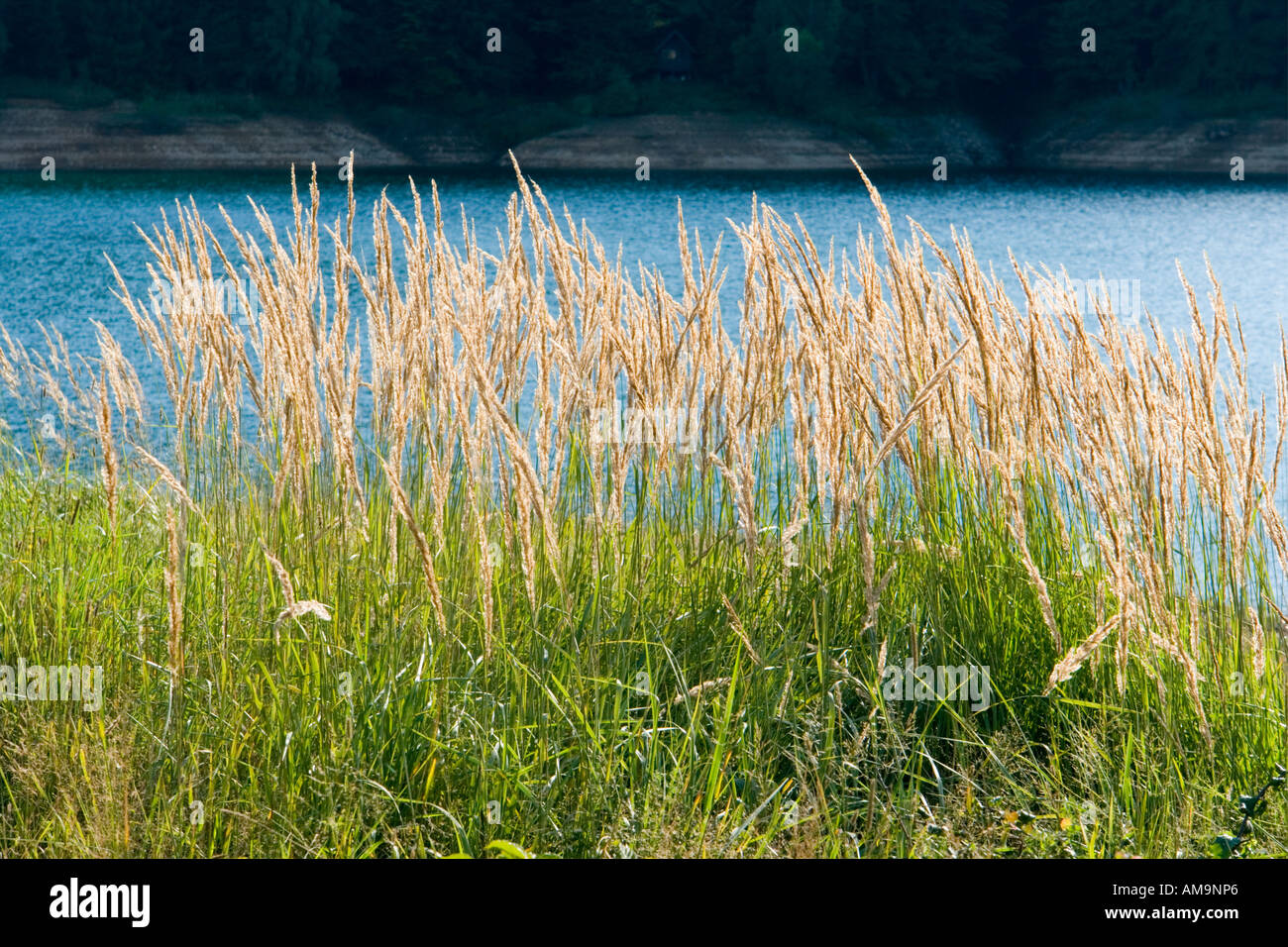 High grass against water Stock Photo