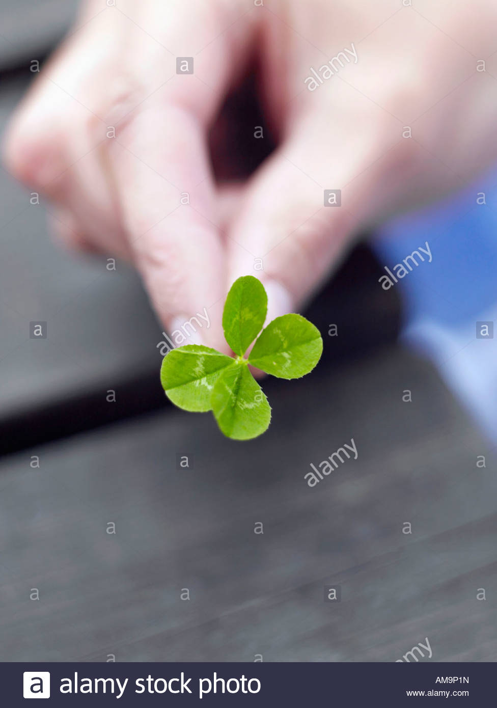 A woman's hand holding a four leaf clover. Stock Photo