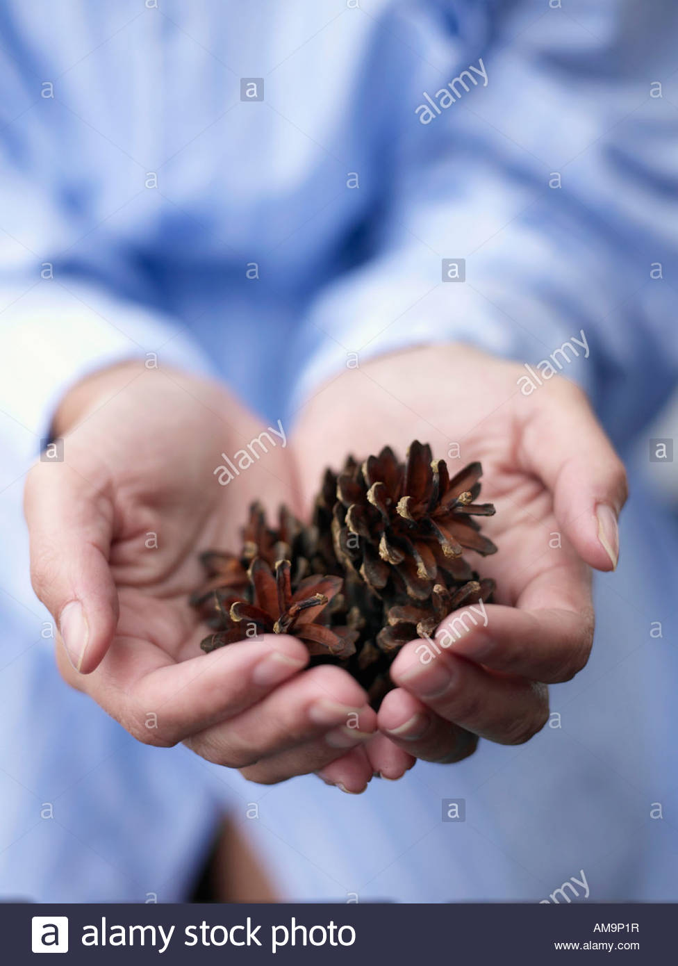 Woman's hands holding pine cones. - Stock Image