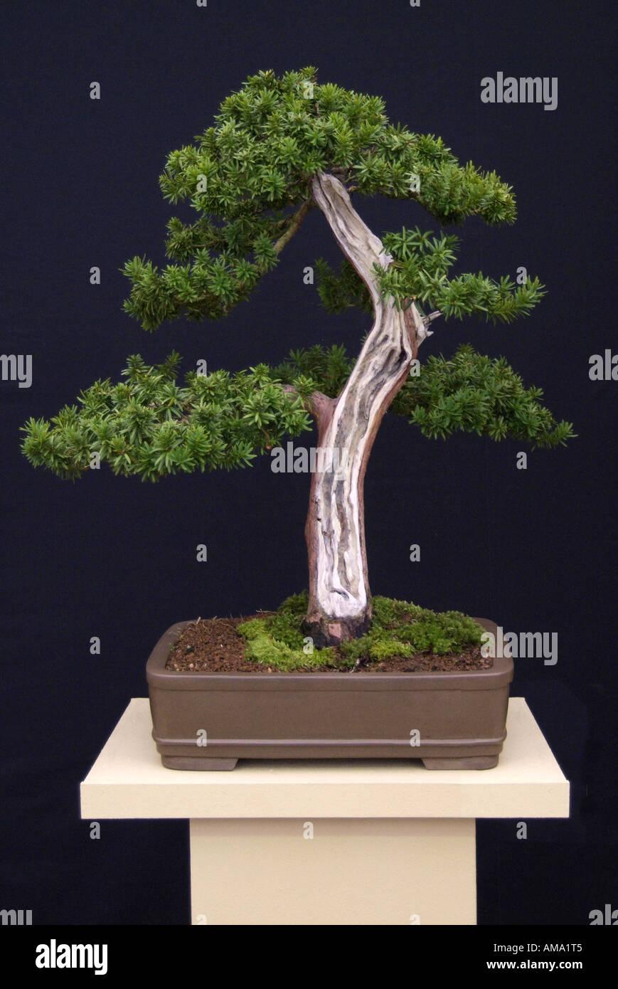 taxus cuspidata Japanese yew bonsai Chinese china Japan Japanese east eastern oriental orient tree evergreen miniature dwarf shr Stock Photo