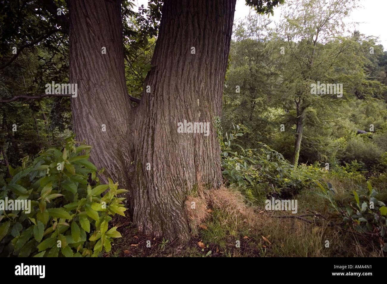 Double Tree Trunk - Stock Image