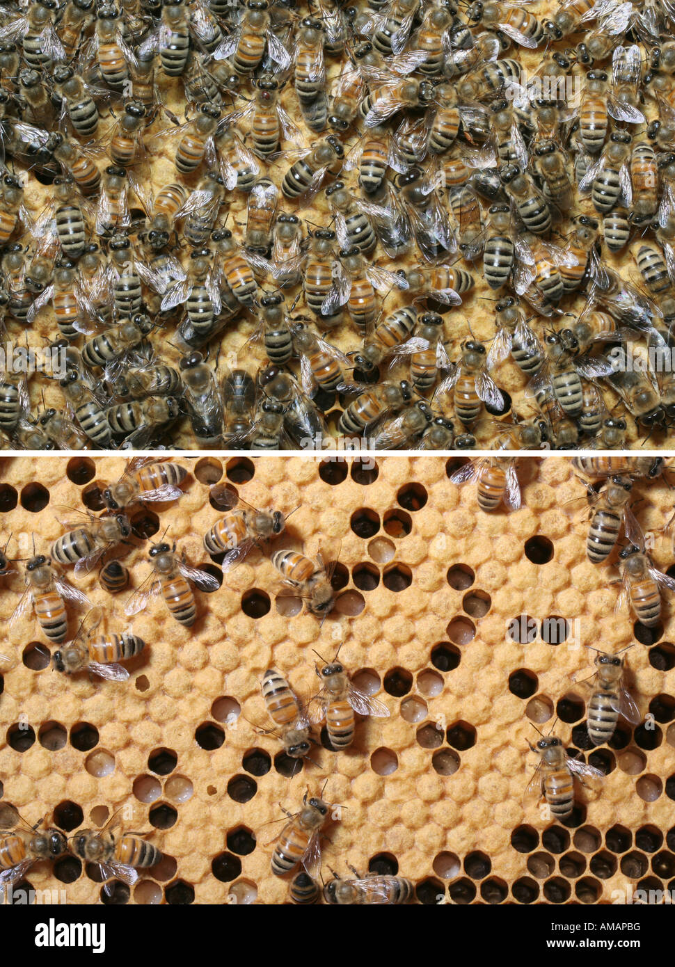 Colony collapse disorder: Top, Healthy hive; Bottom, CCD. - Stock Image