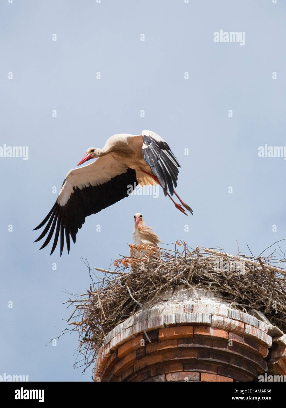 WHITE STORK Ciconia ciconia flying from nest Algarve Portugal Europe Stock Photo