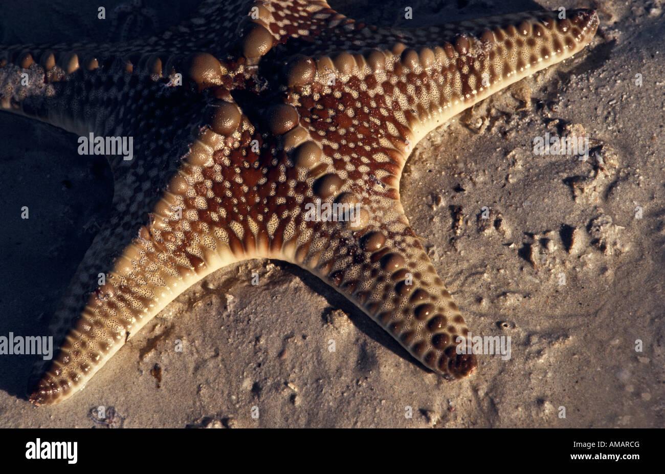 Starfish closeup, Australia - Stock Image