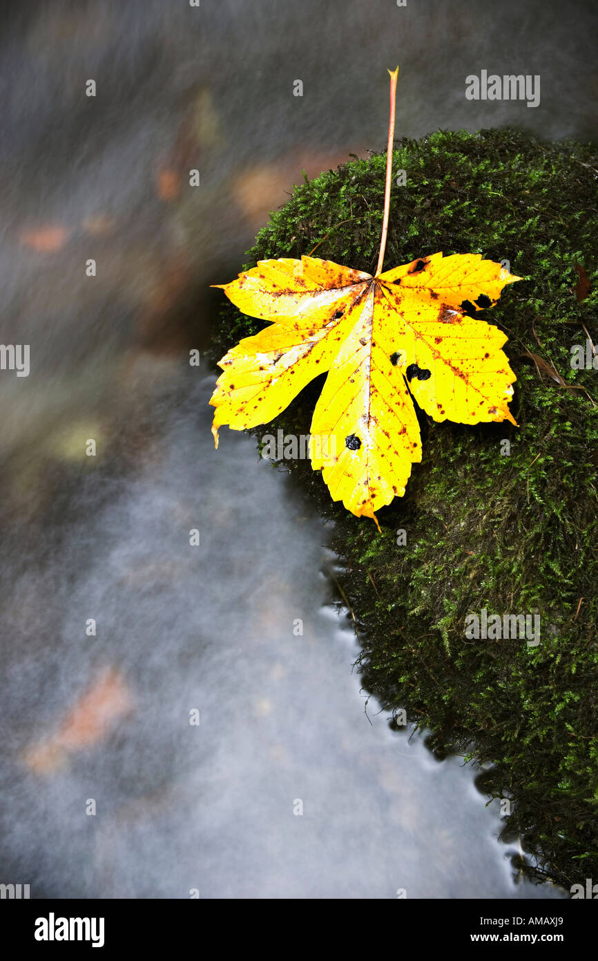 Maple leaf by stream in autumn, close-up, elevated view - Stock Image