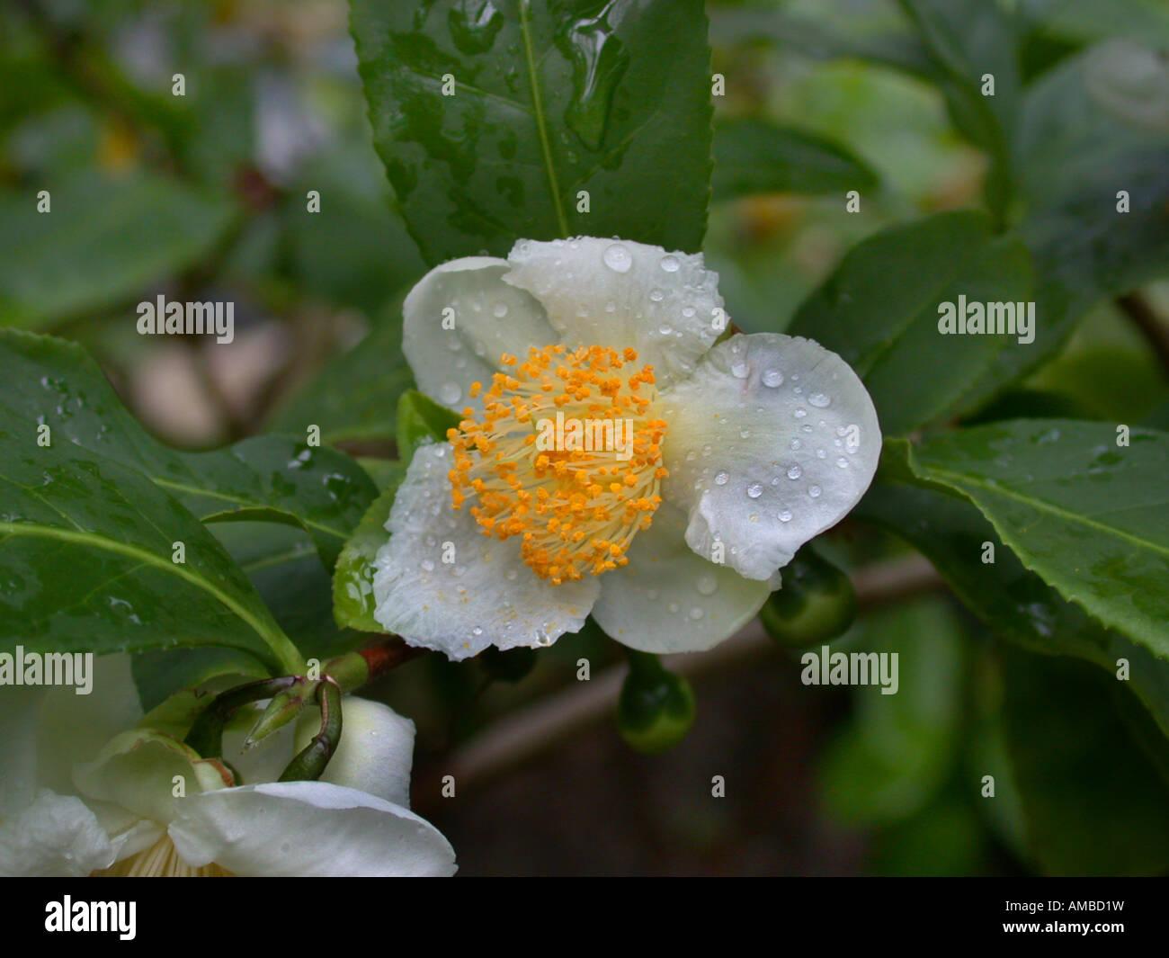 tea plant (Camellia sinensis, Thea sinensis), flower Stock Photo