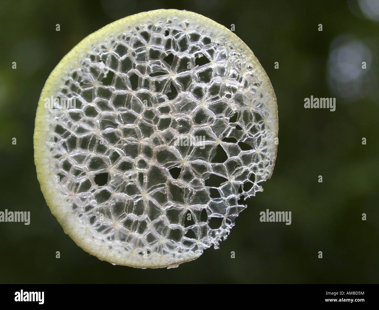 waterhyacinth, common water-hyacinth (Eichhornia crassipes), cross section of a leaf petiole, aerenchyma Stock Photo