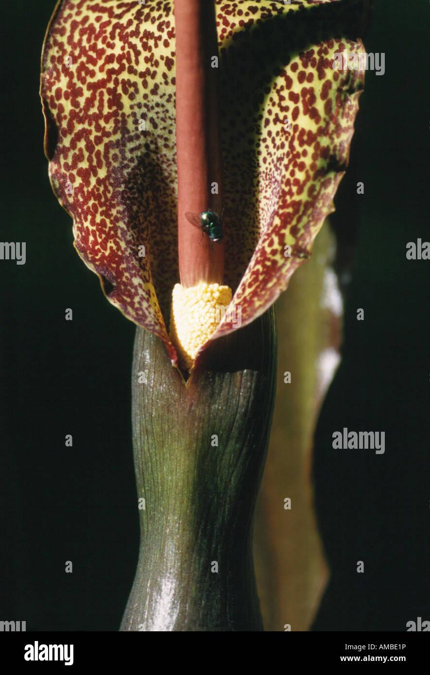 Voodoo Lily (Sauromatum venosum, Sauromatum guttatum, Arum cornutum), inflorescence with fly Stock Photo