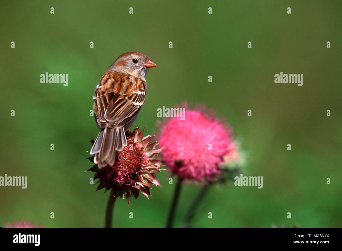 Field Sparrow on Thistle - Stock Image